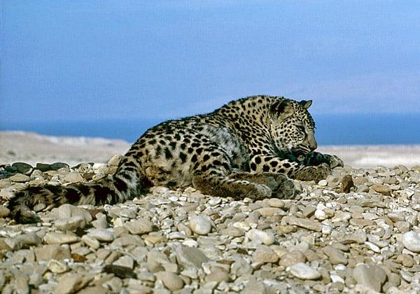 נמר שצולם במדבר יהודה ב-1985. צילום: אייל ברטוב